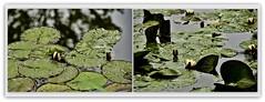 le ninfee di Monet ... (miriam ulivi) Tags: flowers verde green nature water collage reflections picasa watergarden waterlilies fiori acqua riflessi francia giverny normandia ninfee giardinoacquatico nikond7200 miriamulivi fondazionemonet