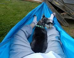 New Hammock (Pep's Hiking Team) Tags: wildernessdogs traildog backyard outside hammock camping nikon 2016 dog schnauzer