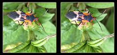 Large Milkweed Bug, Oncopeltus Fasciatus 3 - Crosseye 3D (DarkOnus) Tags: macro beautiful closeup bug stereogram 3d crosseye phone pennsylvania butt large cell 8 stereo mate milkweed thursday stereography buckscounty huawei crossview oncopeltus fasciatus bbbt beautifulbugbuttthursday hbbbt darkonus