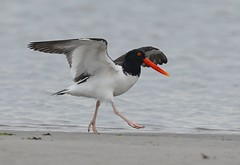 Oystercatcher Dancing (KoolPix) Tags: bird beach nature animal wings sand dancing beak feathers oystercatcher nationalgeographic naturephotography americanoystercatcher naturephotos amazingnature jayd naturephotographer fantasticnature birddancing animalphotographer koolpix jdiaz wonderfulbirdphotos jaydiaz jaydiaznaturephotographer wcswebsite nickersonbeachny