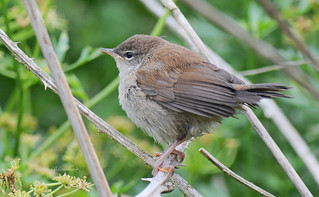Cetti's Warbler (explored)