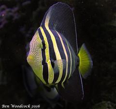 Sailfin Tang (SausageArm) Tags: fish water aquarium nikon marine aqua pretty underwater tank display stripes salt stripe salty sail aquatic fin reef striped fins reefs tang aquatics sailfin d90 18105mm