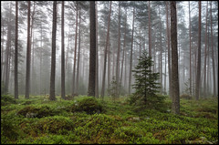 En gran bland tallarna (Jonas Thomn) Tags: morning trees tree fog pine forest moss skog fir gran tall hdr trd morgon mossa dimma lingonris lingonbush