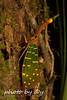 Pyrops intricatus (peter soltys) Tags: gunungmulunationalpark borneo petersoltys photobyy macrophotography adventure amphibian pyropsintricatus lanternbug nature wildlife herping photography biodiversity macro amazing naturephotography wild exitement