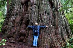 a Redwood at the Lady Bird Johnson Grove (r a y  b r o w n) Tags: california us nationalpark unitedstates bigtree redwoodnationalpark redwoodtree orick enormoustree