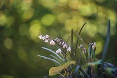 Ophiopogon. Helios 58mm 44-2 f2 (Pietrus13) Tags: flowers macro flora nikon bokeh flor d750 swirly swirling helios