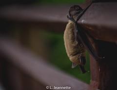 Bat Hanging on a Bridge (Lindsay Feldner) Tags: bat bridge hanging upsidedown inversion brown austintx austin atx roundrock texas