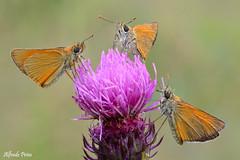 Thymelicus sylvestris (alfvet) Tags: macro nature nikon ngc butterflies natura npc insetti farfalle sigma150 parcodelticino platinumheartaward d5200 veterinarifotografi