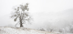 san diego : volcan mountain (William Dunigan) Tags: san diego volcan mountain southern california snow winter fog east county foothills peak peaks oak tree forest high altitude storm rain minimalism nikon d800 william dunigan color landscape nature photography