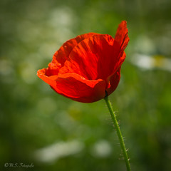 Mohn (mar_lies1107) Tags: flower rot mohn