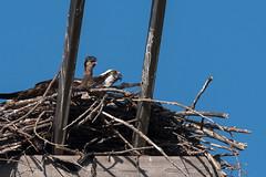 (The Transit Photographer) Tags: birds female chick kingston mum raptors osprey belleisle