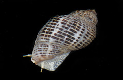 Angled Unicorn (Acanthinucella spirata) (Ron Wolf) Tags: california macro nature wildlife snail gastropoda gastropod mollusk pillarpoint muricidae neogastropoda acanthinucellaspirata angledunicorn