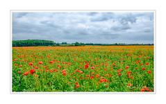 Field of Fire - Warwickshire (BearPaw Photographics) Tags: flowers sky nature clouds flora poppies fields summertime warwickshire