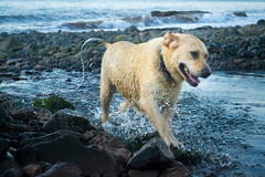Splashing Fun (kevin_kornelsen) Tags: ocean blue dog nature water outdoors nikon seascapes scenic labradorretriever d3100