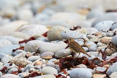 Pipit farlouse (ijmd) Tags: bird oiseau france bretagne ledebatz