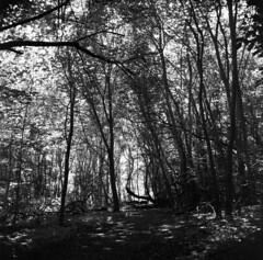 Path Through The Wilderness (holtelars) Tags: mamiya mamiyac330 tlr twinlensreflex twinlens mamiyasekor 65mm f35 6x6 square squareformat 120 film analog foma fomapan fomapan100 fomapan100professional 100iso mediumformat analogue blackandwhite classicblackwhite bw monochrome filmforever filmphotography compardr09spezial r09spezial rodinalspecial studional larsholte homeprocessing niv denmark wood path
