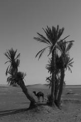 CAMEL - SAHARA DESERT (N i n f a s d e l v i e n t o ) Tags: africa summer blackandwhite love sahara animal animals desert sweet camel heat desierto marruecos camels camello morrocco merzouga summe saharadesert animalphotography camellos camellove merxouga animalph