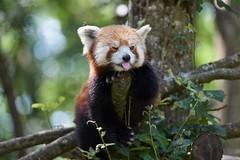 funny (rondoudou87) Tags: panda red roux pentax k1 nature wildlife parc reynou animal extrieur fun funny drole amusant
