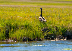Duck Family -Yellowstone-7000 - EXPLORED (PBIN2351) Tags: ducks water grass yellowstone flickr explore