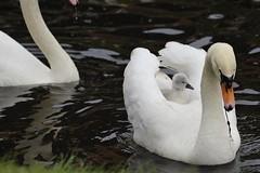 Feeding time... (Pim Stouten) Tags: zwaan swan labut cygnus cygnusolor witswaan hckerschwan schwan muteswan bird oiseau ptk vogel vol watervogel waterbird chick kuiken kken jong young