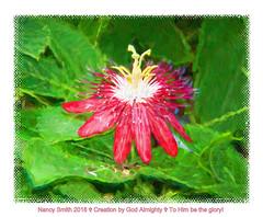 Passion Vine flower (NancySmith133) Tags: backyardgardens passionvine orangecountyfl centralfloridausa painterly textura photopaintingflowers