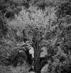 Hoar Frost - Cedar Tree (solowookie1791) Tags: hoarfrost blackwhite landscape winter snowing