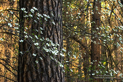 Dogwoods in Yosemite National Park (Darvin Atkeson) Tags: california park light sunset pine golden march early glow village national bark yosemite drought bloom ponderosa dogwoods 2015 darvin atkeson darv lynneal yosemitelandscapescom