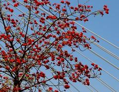 ERITRINA en floracin. ( rbol del coral ) (camus agp) Tags: red spain rboles andalucia puentes canoneos malaga coraltree rojos tirantes floracion erythrinacaffra floresrojas eritrinas arboldelcoral