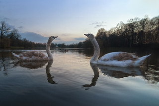 couple of young swans