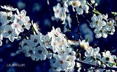 plum blossom extravagance (calamityjan2008) Tags: trees spring blossoms vancouverisland springflowers ribbet whiteflowers plumblossoms treeflowers plumtrees whiteflowersonblue