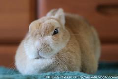 IMG_4010-1 (Rabbit's Album) Tags: pets cute rabbit bunny animals coco    netherlanddwarf   ef50mmf18  canonx7i x7i