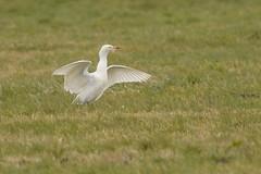 DSC_3792 koereiger (Bubulcus ibis)