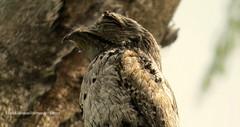 "Northern potoo"" Nyctibius jamaicensis"" (Erick Giovanni Hernandez Torres) Tags: naturaleza aves birdwatcher northernpotoo nyctibiusjamaicensis urutau"