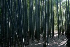 Hkoku-ji Temple: Kamakura, Japan (barberdavidm) Tags: japan kamakura buddhism  nippon kanagawa buddhisttemple nihon  zenbuddhism kanagawaken  bamboogarden  bambootemple nihonkoku nipponkoku kanagawaprefecture mosobamboo kamakurashi hkokuji phyllostachysedulis hkokujitemple takumadera