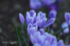Crocus (lg-photographic) Tags: flowers blur spring purple blumen crocus lila garten graden krokus frühling weichzeichner