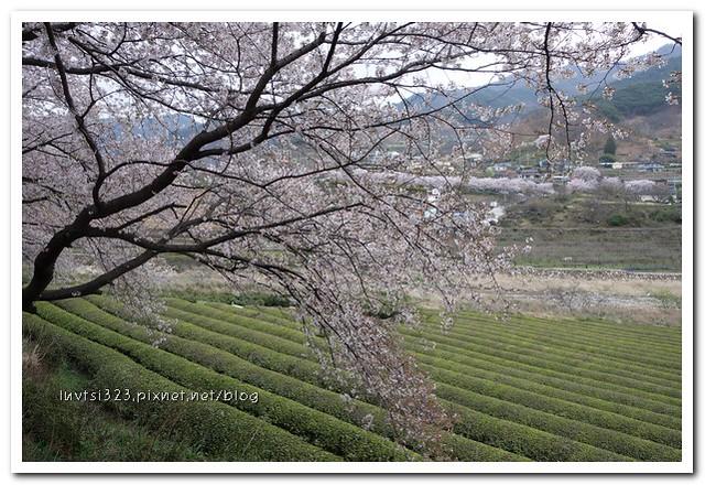 화개십리벚꽃길17