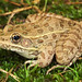 Plains Leopard Frog, Male