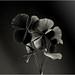 Folhas de trevo da sorte BH MG Wl1125