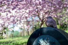 En ensom fugl (Facebook: TsPhotography.UE) Tags: pink bloom kbenhavn blooming bispebjerg forr lyserd japanskkirsebrtrer