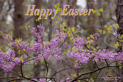 Happy Easter 2015 (tommaync) Tags: flowers nature leaves easter nc spring nikon northcarolina april blooms chathamcounty redbuds 2015 d40