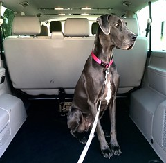 Daisy Waiting to Go (e_impact) Tags: blue dog canine greatdane bitch daisy 365 k9 project365 deutschedogge