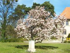 Diana & Magnolie ... (bayernernst) Tags: berlin deutschland skulptur diana april figur frhling magnolie 2015 nikolassee berlinnikolassee sn204428 20042015