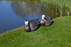 White neck Geese at Bicester golf club. (trevorcridlan) Tags: nature birds outdoors geese nikon wildlife d100 tamron 16300