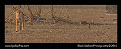 Bandhavgarh 001 (Black Stallion Photography) Tags: brown india white black photography jackal wildlife indian sunlit stallion bandhavgarh igallopfree