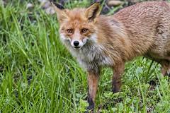 Rudoji lap (Jonas Juodiius) Tags: lithuania vilnius redfox vulpesvulpes lietuva rudojilap maiejigulbinai vanagin