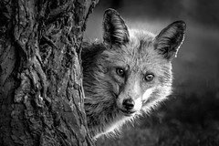 Cautious fox (bbir280) Tags: bw white black animal nikon dusk sigma fox and cautious d7100 150600mm