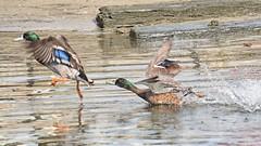 A bit of Mallard action! (Merrillie) Tags: sea nature water birds animals fauna bay nikon waterfront wildlife ducks australia nsw mallard mallards woywoy d5500 nswcentralcoastnsw centralcoastnsw woywoyfishermenswharf