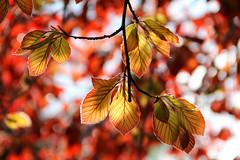 illuminating (***toile filante***) Tags: light red sun sunlight tree rot licht spring warm dof bokeh laub may illumination mai leafs emotions sonne bltter frhling leuchten sonnenlicht gefhle illuminating wrme strahlend erleuchtend