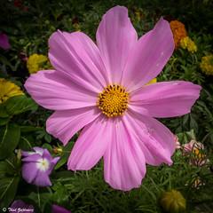 Spring flower (Thad Zajdowicz) Tags: california leica plant flower macro nature closeup square outside petals flora purple outdoor botanic 365 pasadena cosmos 1x1 lightroom 366 zajdowicz