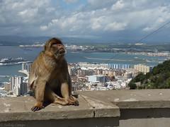 Macaca sylvanus (Nelleke C) Tags: holiday vakantie unitedkingdom mammals gibraltar 2016 barbarymacaque macacasylvanus zoogdier berberapen taxonomy:binomial=macacasylvanus